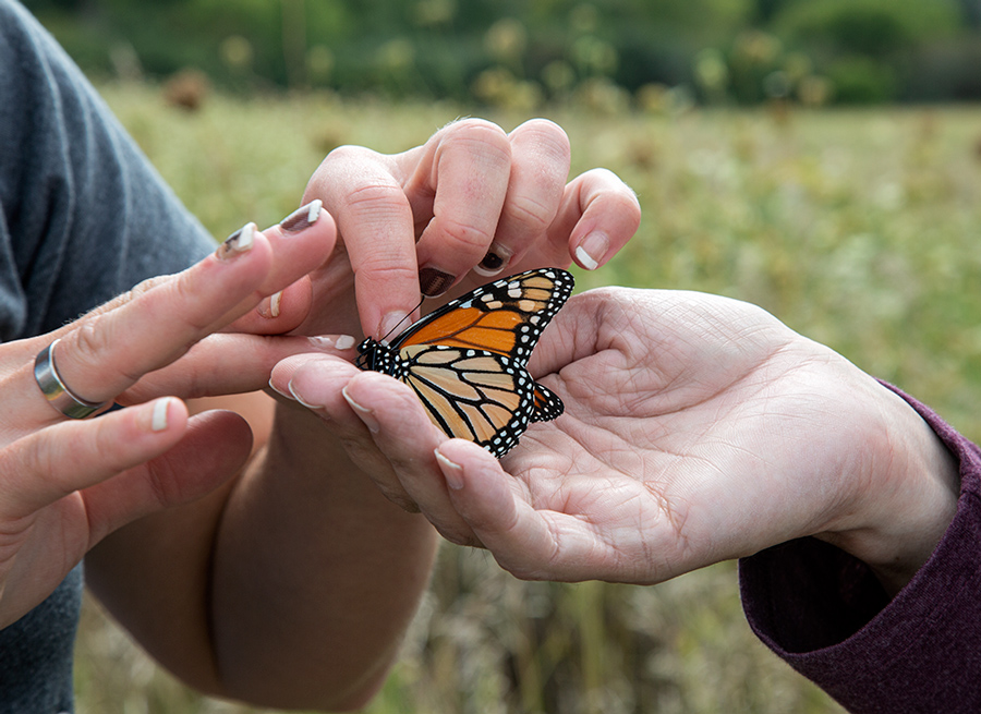 three hands holding a Monarch butterfly for tagging