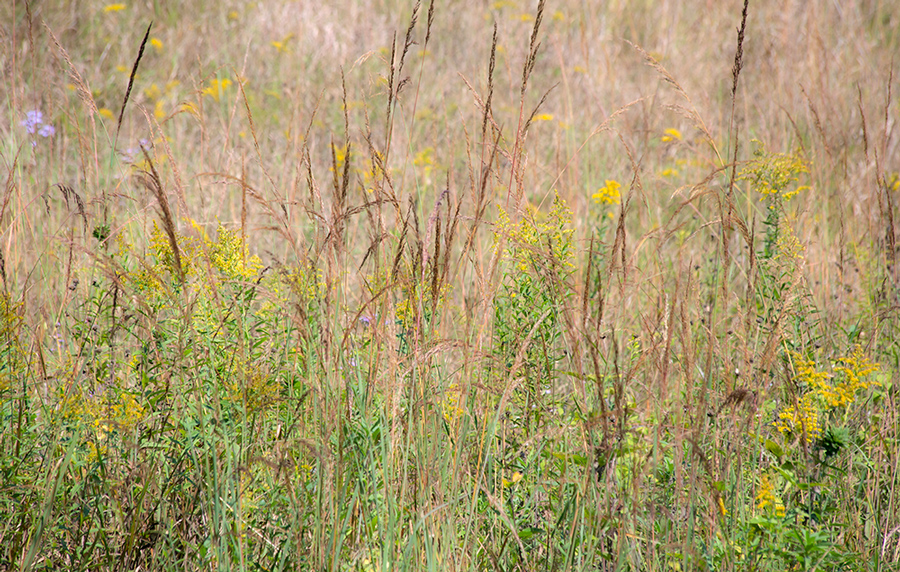 A meadow with grasses and goldenrod