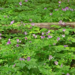 a patch of wild geraniums