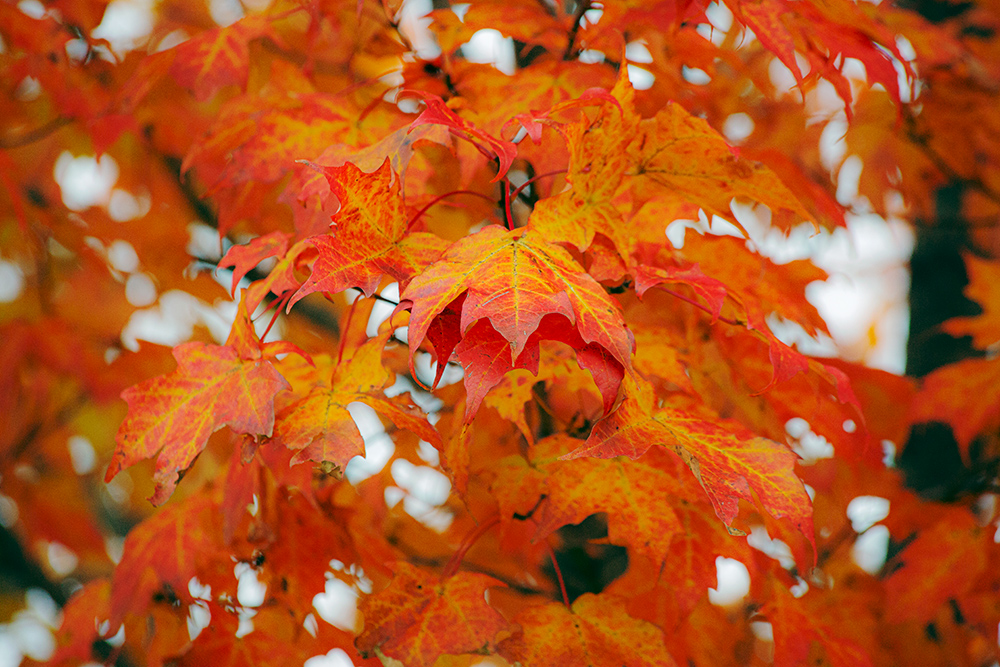 Red maple leaves at Mequon Rotary Park