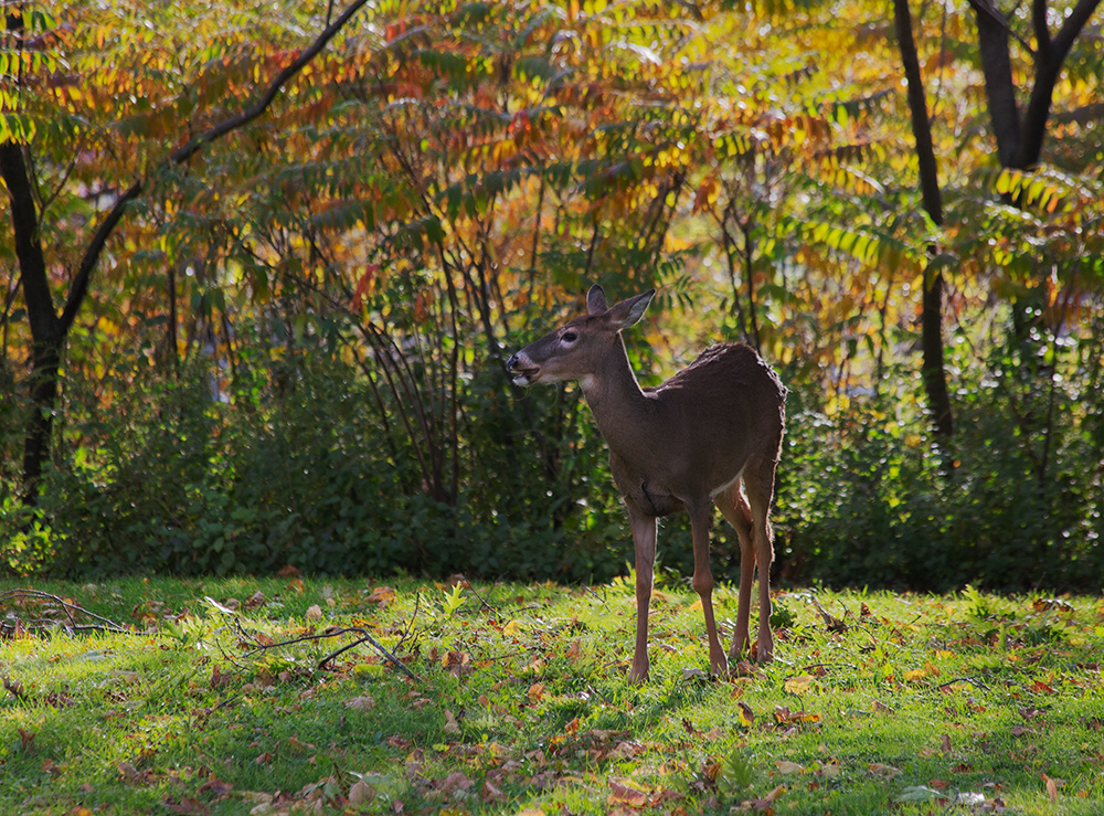 white tail deer on grass in Estabrook Park