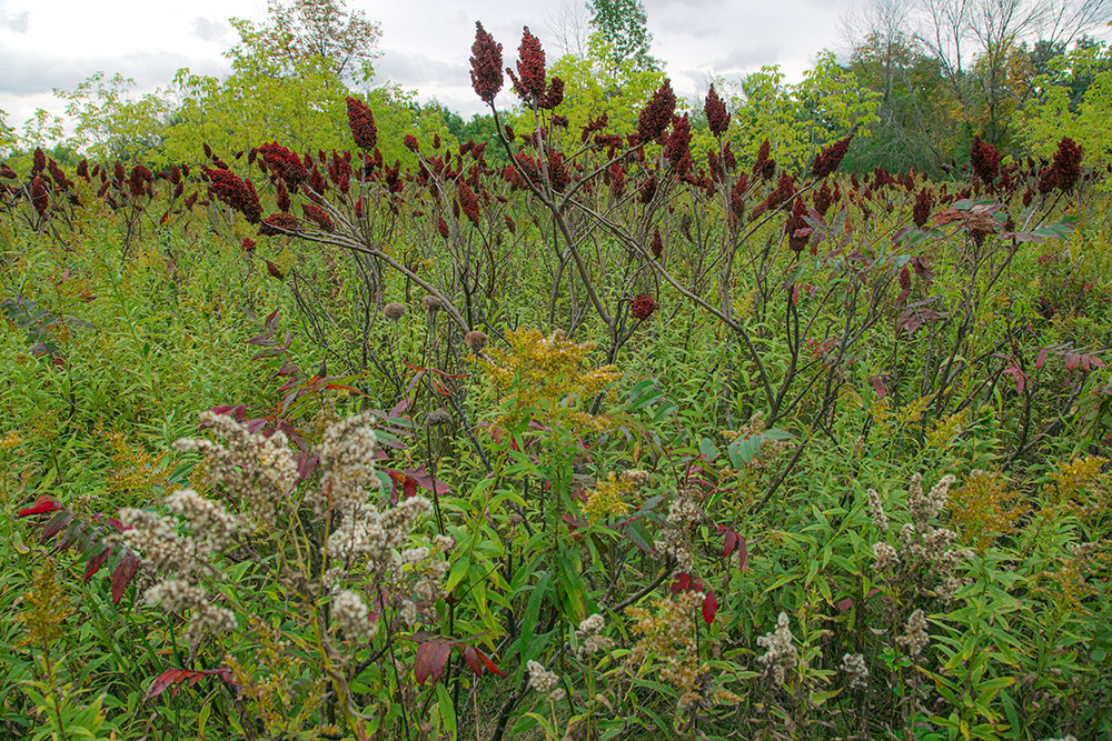 field of sumac and wildflowers at Nashotah Park