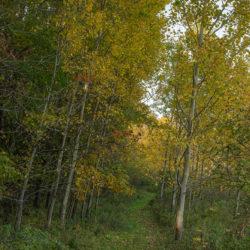 trail leading through birches