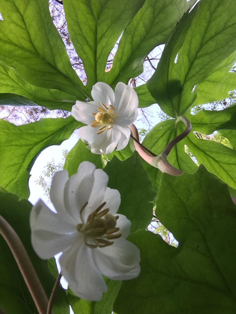 worm's eye view of Mayapple blossoms