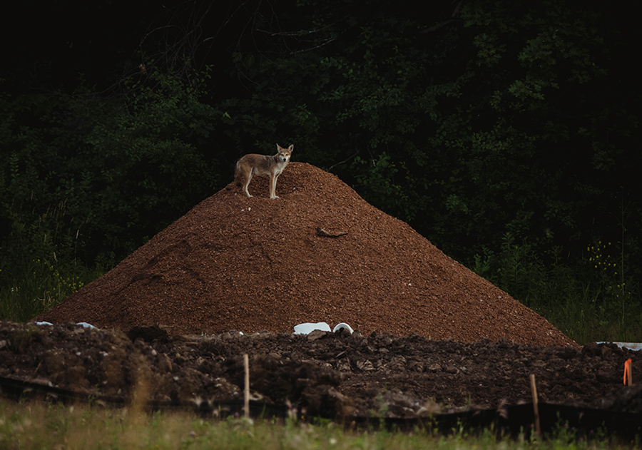 Coyote: construction site