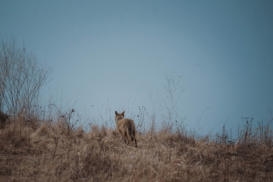 Coyote: In the Field