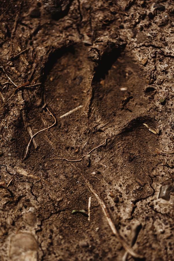Coyote: Track