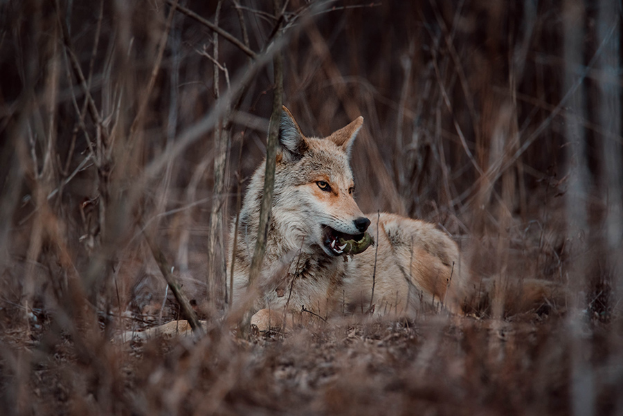 Coyote with a tennis ball