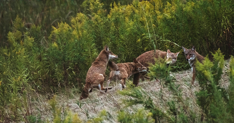 Coyotes playing