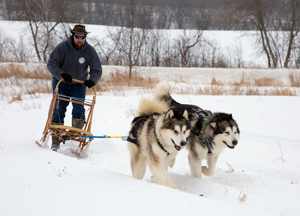 two sled dogs pulling a sled at Mequon Nature Preserve Winter Frolics