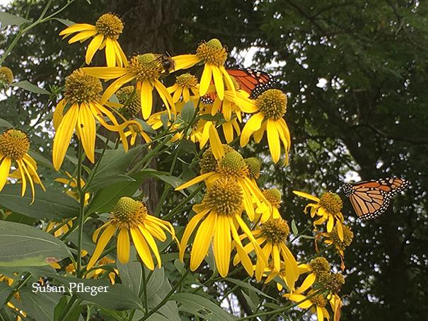 Monarchs on green-headed coneflower