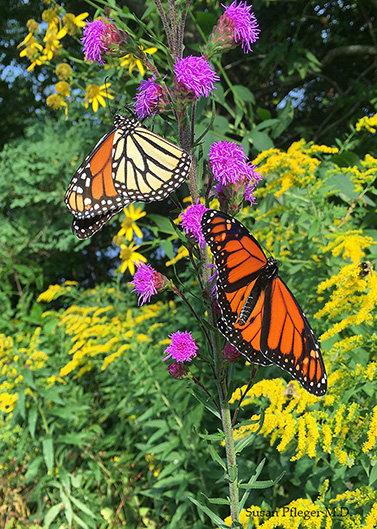 Monarchs on liatris