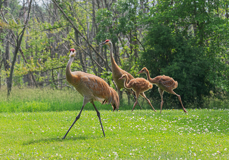 A family of four sandhill cranes stroll through McCoy Field Park in Brookfield.