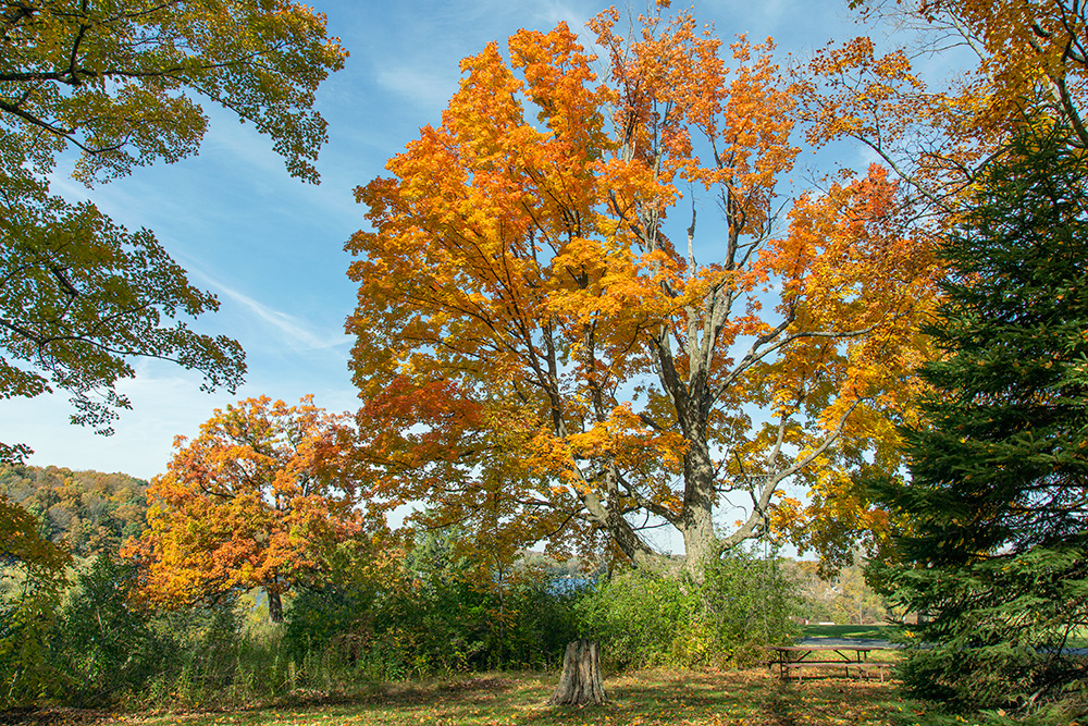 Maple trees in autumn color at Ackerman's Grove County Park