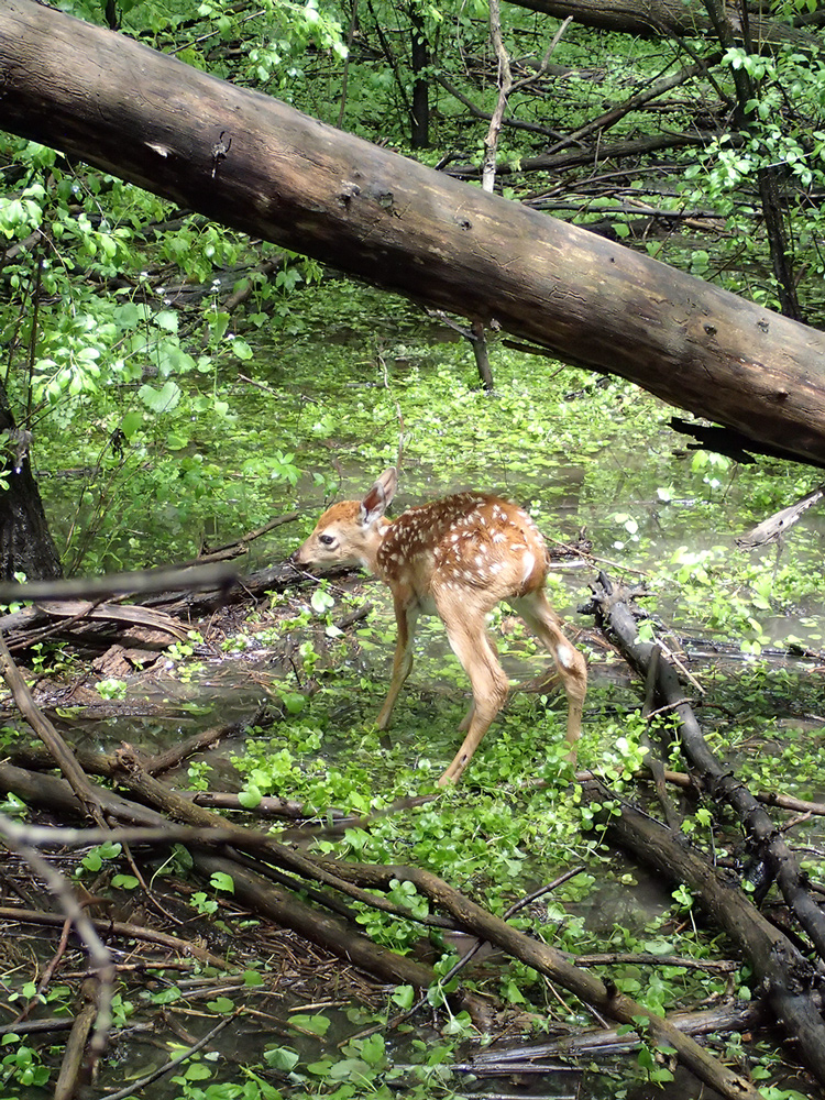 young fawn struggling to stand