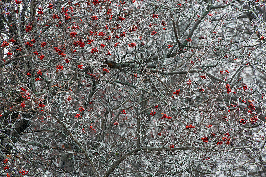 Ice-encrusted tree with berries in Veteran's Park