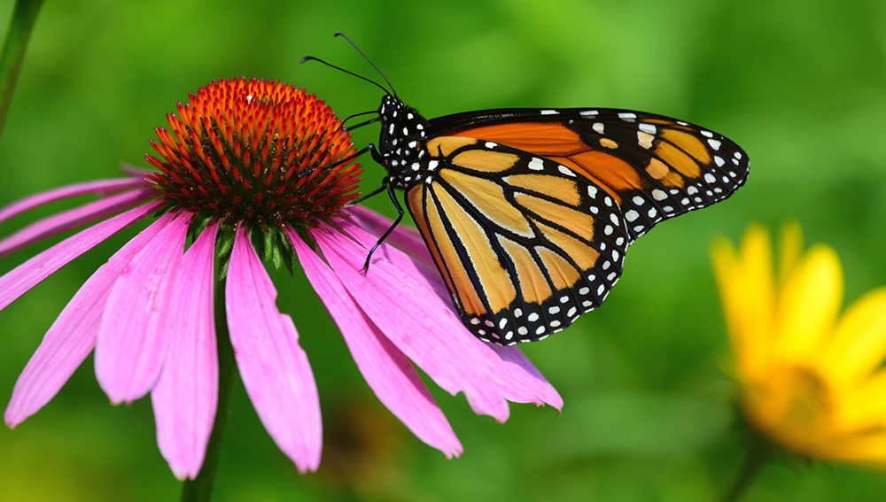 monarch butterfly on purple coneflower