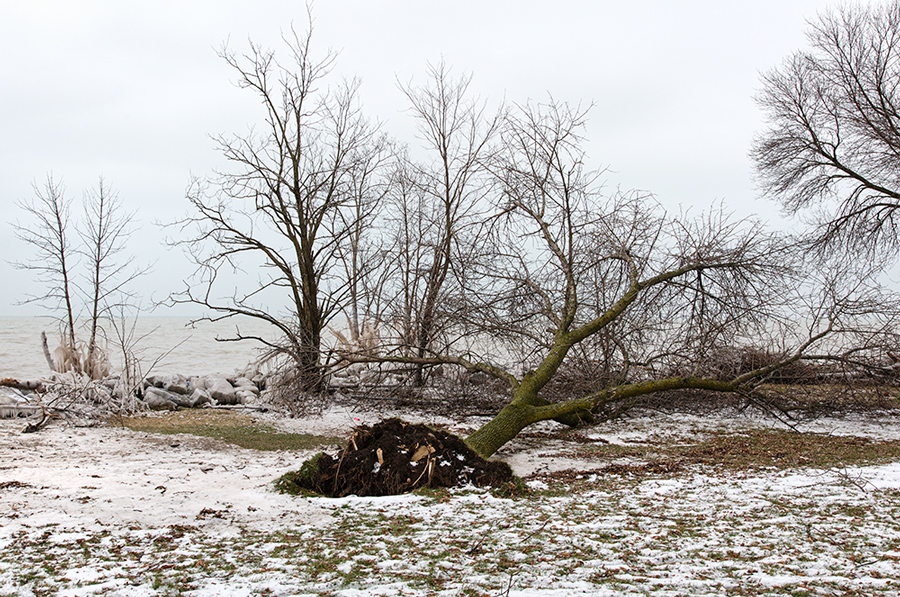 tree toppled by winter storm on the lakefront