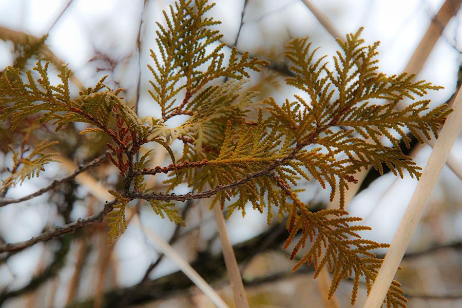 A sprig of cedar