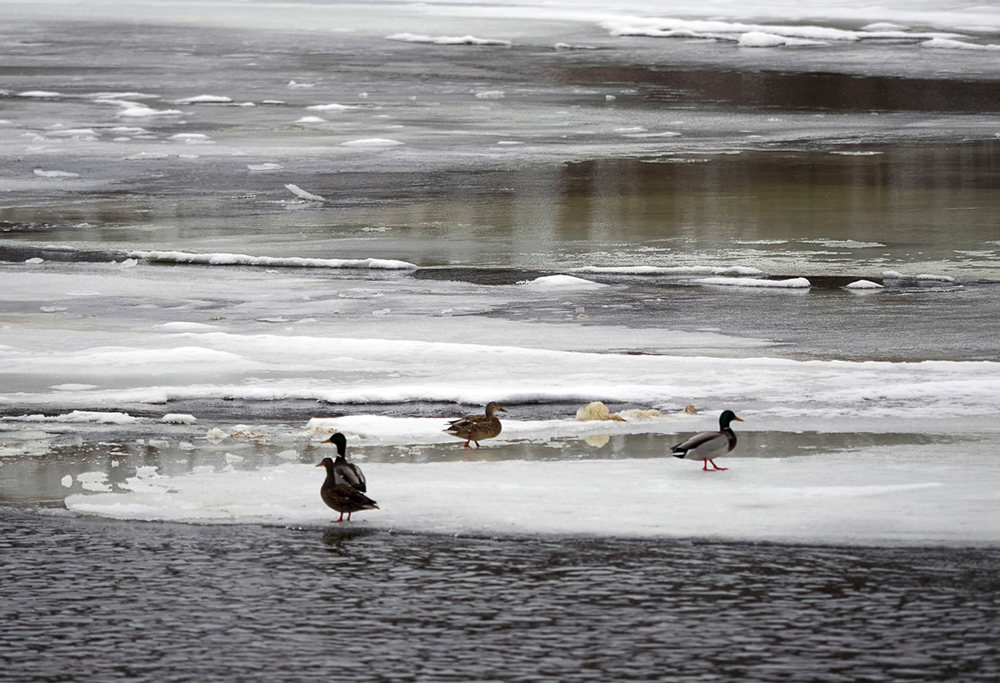 Mallards on the icy river