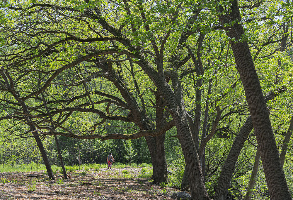 A riverside stand of oaks in Case Eagle Park