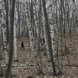 Ice Age Trail in birch grove