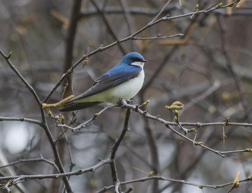 Male Tree Swallow, Warnimont Park.