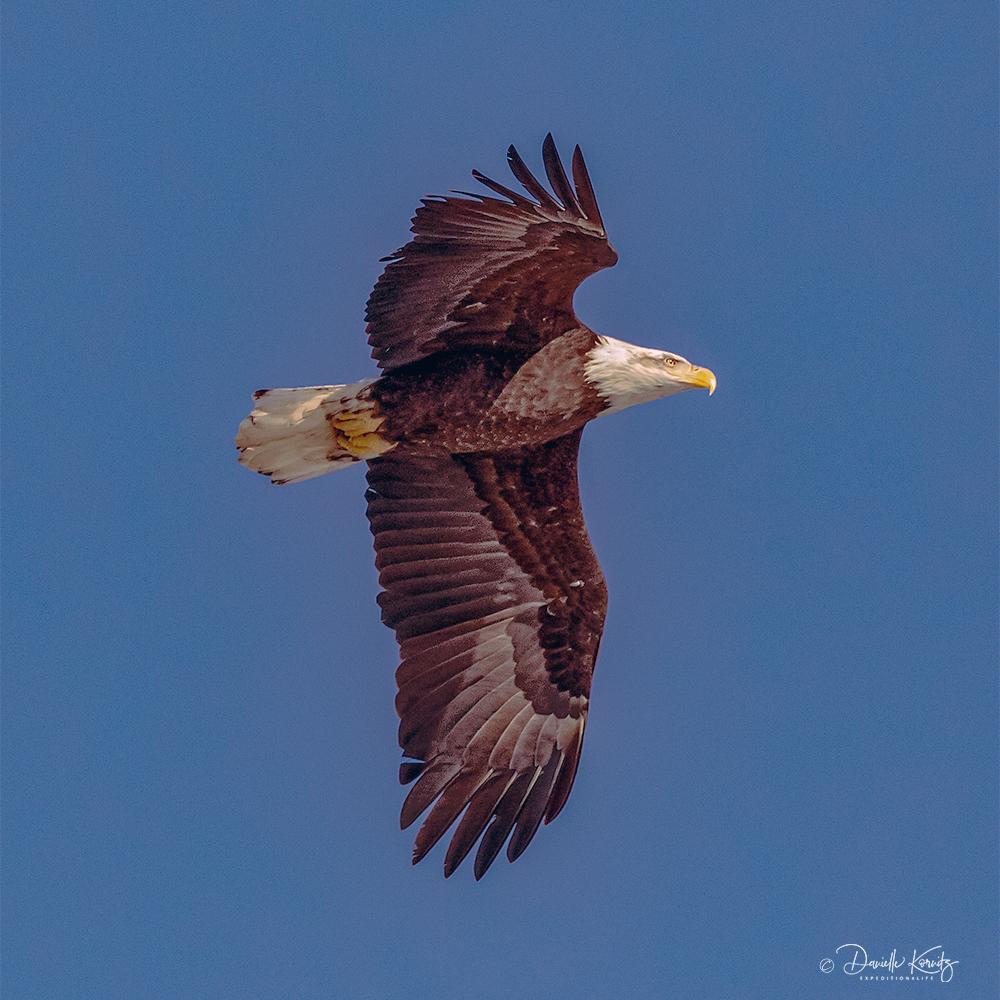Adult bald eagle in flight