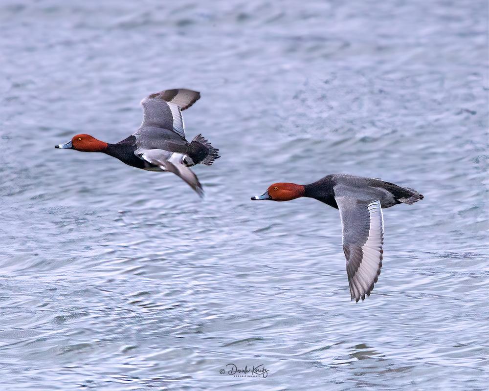 Two Male Redhead Ducks in Flight