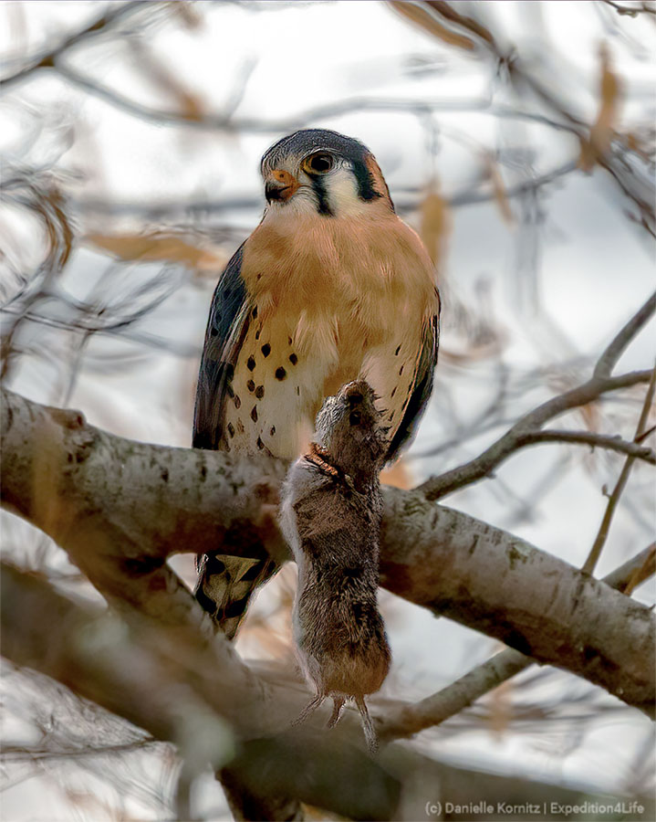 American Kestrel, male, with its next meal