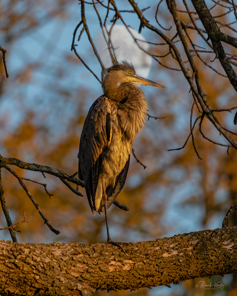 Great Blue Heron at sunset with the rising moon.