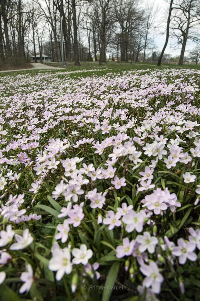 Spring Beauties, McGovern Park, Milwaukee