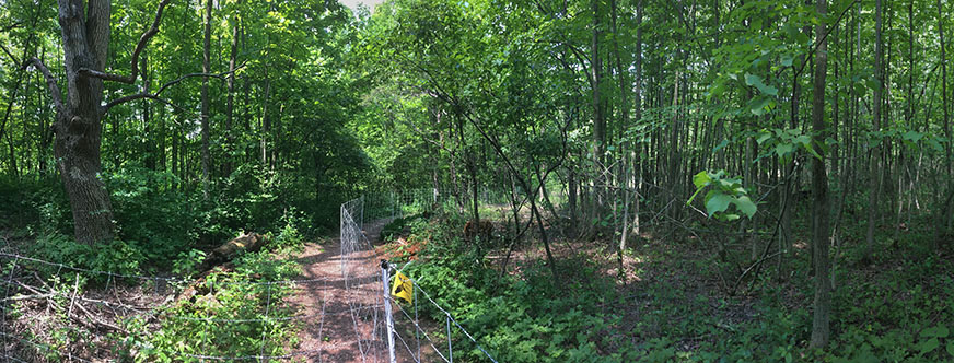 The electrified fence separating two paddocks showing dense foliage in the understory on the left and depleted foliage on the right where the goats are active.
