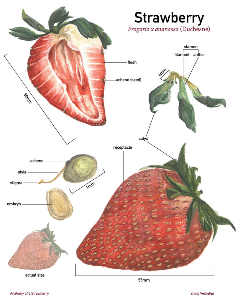 """Anatomy of a Strawberry,"" watercolor and gouache"