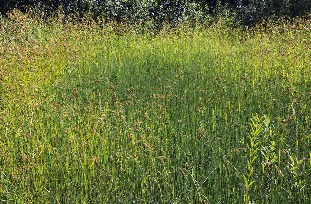 Sedge meadow
