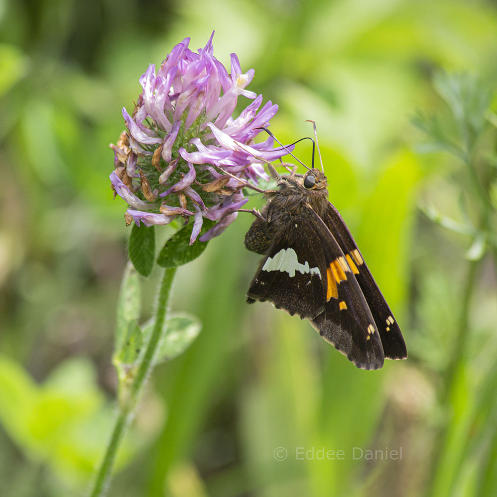 Silver-spotted Skipper butterfly on clover