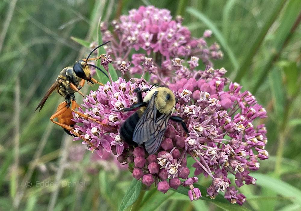 wasp and bee on swamp milkweed