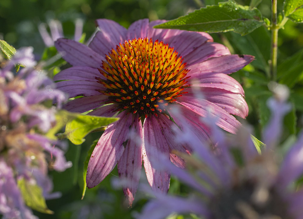 Coneflower close up