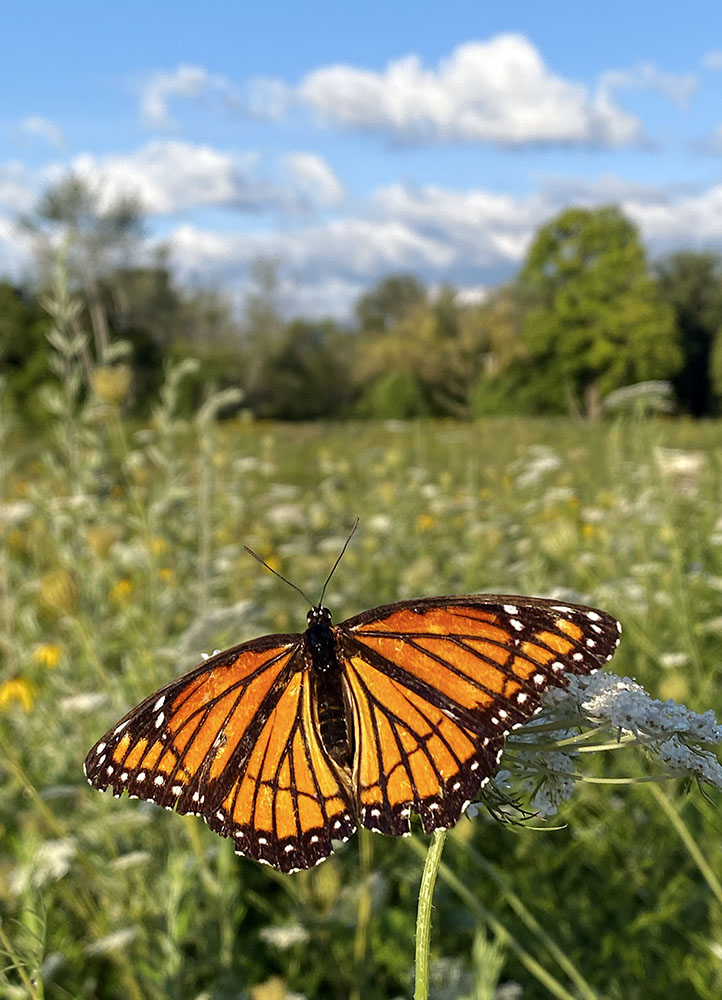 Viceroy butterfly, a monarch look-alike