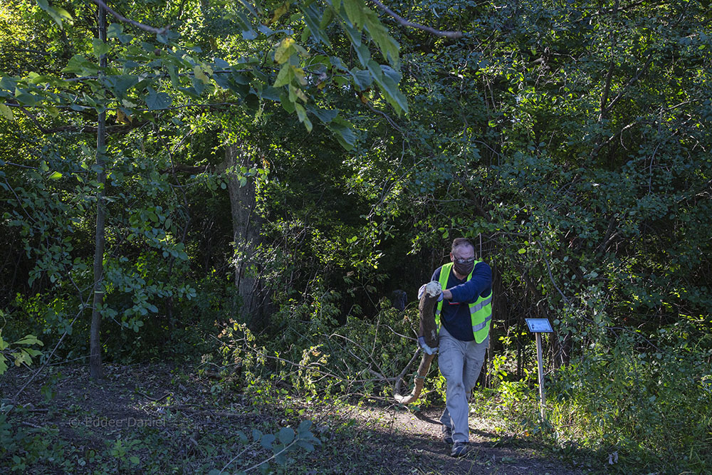 Author Jonathan Piel hauls buckthorn to the chipper.