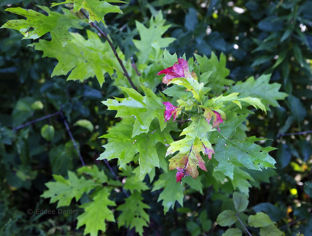 A rare oak seedling; clearing the buckthorn around it will improve chances of survival.