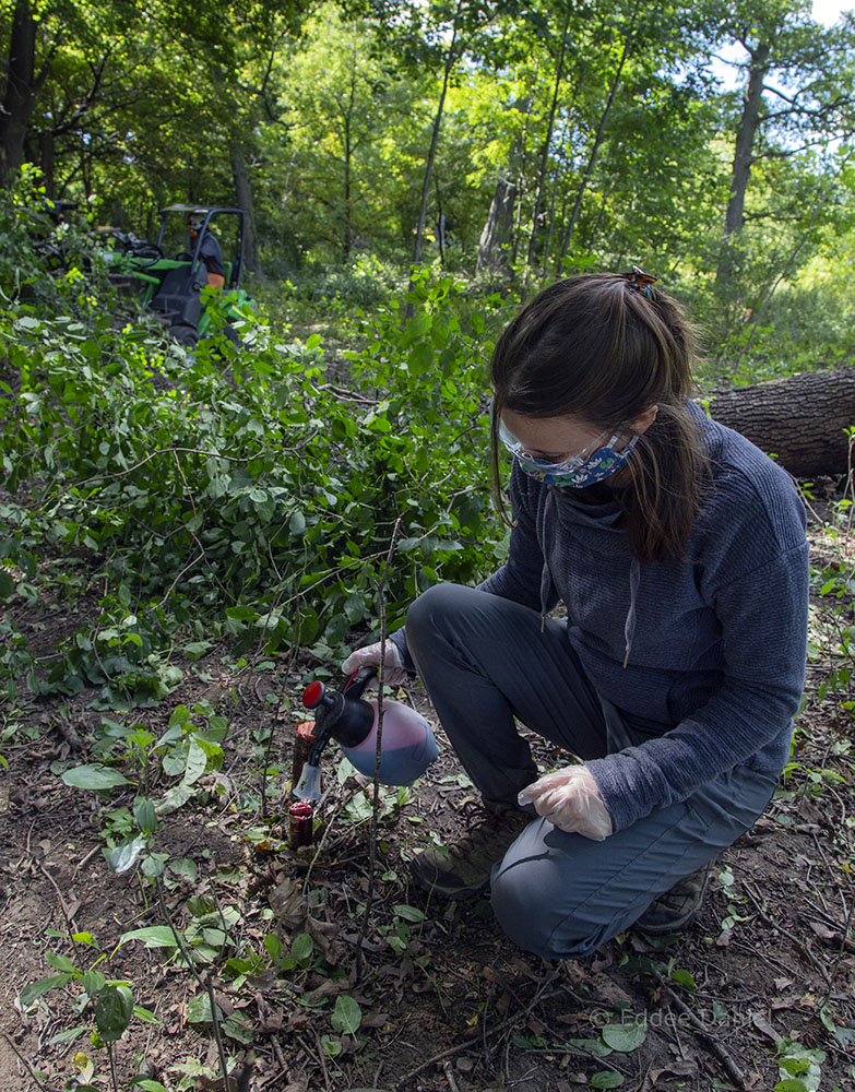 Trained County Parks personnel, including Danielle Pahlisch, treat the cut stumps with herbicide.