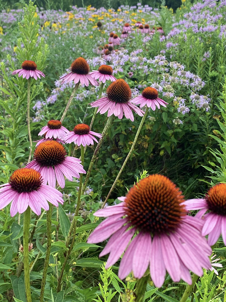 Echinacea (purple coneflower) and Monarda (bee balm)