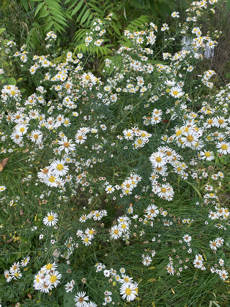A patch of asters