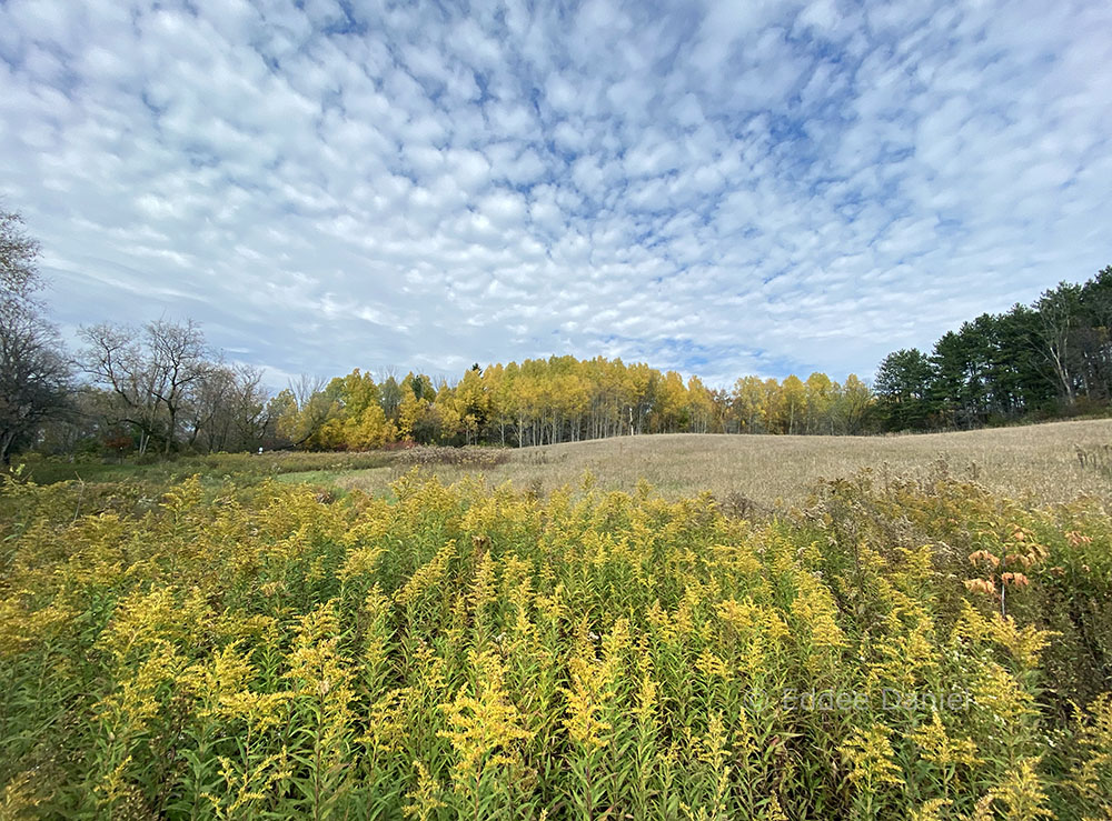 Meadow with goldenrod and aspen. Hawthorne Hills County Park/Shady Lane State Natural Area.