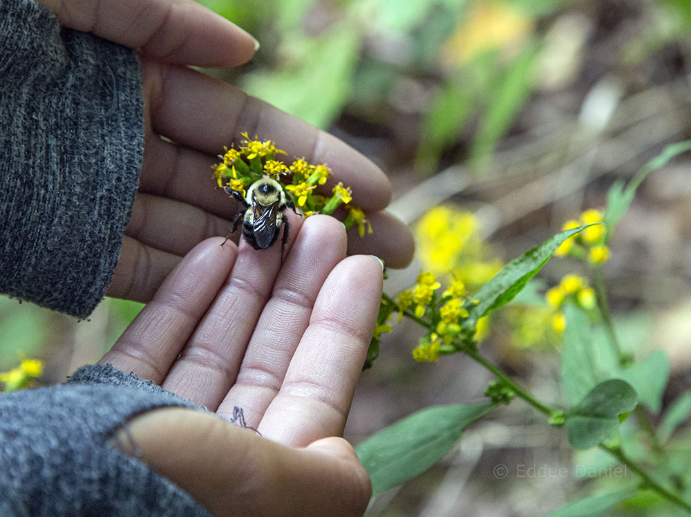 The author rescues a bumblebee from the trail, placing it on a goldenrod blossom.