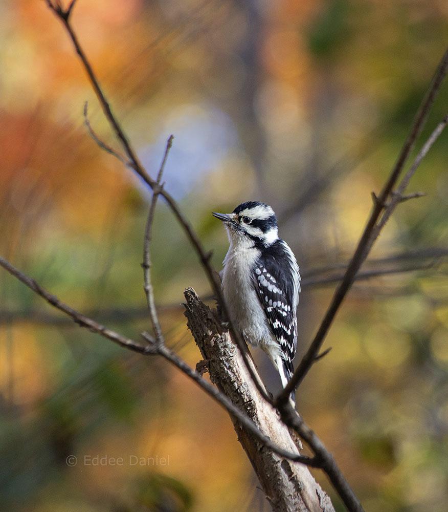 Female downy woodpecker, KK River Trail