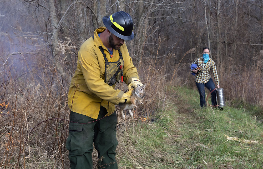 Jess looks on as Matt removes an injured rabbit from the path of the fire