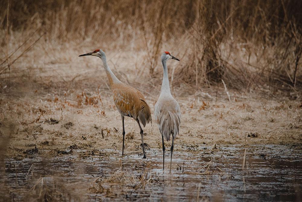 Sandhill Cranes, a photograph by Danielle Pahlisch