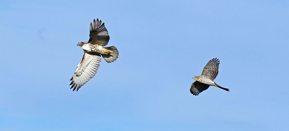 red-tail and cooper's hawks